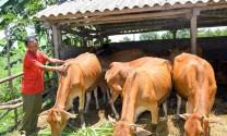 Làm giàu với mô hình nuôi bò sinh sản