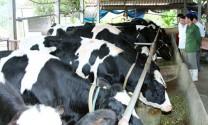 """Chăn nuôi bò sữa: Bấp bênh """"đầu ra"""""""