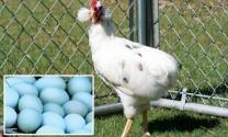 Gà đẻ trứng xanh Araucana