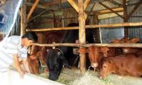 Trang trại bò siêu thịt ở Lạc Xuân