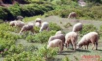 Nông dân thử nghiệm nuôi cừu ở vùng gió Lào Nghệ An
