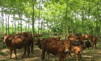 Giải pháp kỹ thuật chống nóng cho đàn gia súc gia cầm