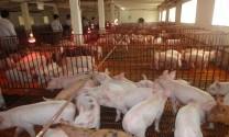 Bệnh Phù thũng ở lợn con Nguyên nhân, triệu chứng và cách phòng trị bệnh