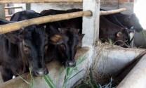Tây Sơn (Bình Định): Triển khai mô hình nuôi thâm canh bò thịt