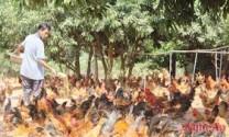 Đồng bằng sông Cửu Long: Đàn gà ta đầu tiên được công nhận VietGAP