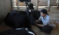 Đàn bò sữa lại phát triển nóng, người nuôi gặp khó khăn
