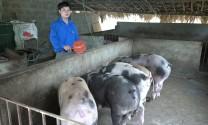Phú Thọ: Làm giàu từ chăn nuôi lợn nái sinh sản