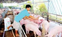 Ngành chăn nuôi Đồng Nai gặp khó với TPP