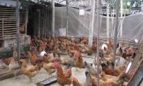 Quy trình kỹ thuật chăm sóc, nuôi dưỡng gà lông màu nuôi thả vườn (Phần 1: Chuồng trại và điều kiện chăn nuôi)