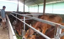 Lai Châu: Dự án chăn nuôi bò sinh sản giúp thoát nghèo