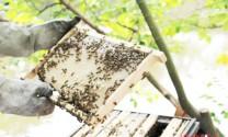 Nuôi ong mật ở Nam Đàn thu tiền tỷ