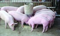 Mua lợn giống siêu nạc?