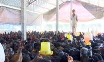 Phụng Hiệp (Hậu Giang): Giá gà thịt xuống thấp, người nuôi thua lỗ