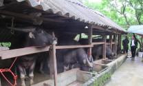 Lạng Sơn: Hiệu quả chăn nuôi trâu, bò bán chăn thả ở Chiến Thắng