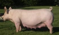 Mua lợn nái về gây giống?