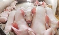 Giá thu mua lợn hơi tiếp tục giảm