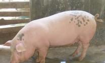 Trị bệnh trên lợn?