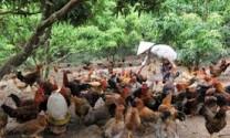 Quy trình kỹ thuật chăm sóc, nuôi dưỡng gà lông màu nuôi thả vườn (Phần 2: Kỹ thuật chăm sóc nuôi dưỡng giai đoạn gà con)