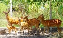 Bỏ nuôi bò sang hươu, nai lấy nhung, thu trăm triệu mỗi năm