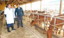 An Giang: Phát triển đàn bò thịt gắn với vùng nguyên liệu