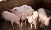 Giá heo hơi ở mức thấp, người nuôi thận trọng trong tái đàn