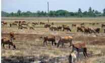 Nắng nóng làm tăng nguy cơ phát sinh dịch bệnh trên gia súc, gia cầm
