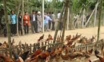 Quy trình kỹ thuật chăm sóc, nuôi dưỡng gà lông màu nuôi thả vườn (tiếp theo và hết)
