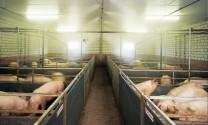 Giải pháp hữu hiệu chống sốc nhiệt cho vật nuôi