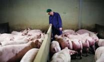 Biến động thị trường thịt heo châu Âu