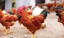 4 doanh nghiệp gà màu lớn nhất Việt Nam