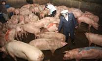 Giảm mạnh chất salbutamol trong chăn nuôi
