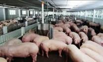 """Giá lợn """"rớt mạnh"""" do Trung Quốc hạn chế nhập khẩu"""