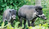 Giống lợn bướu Indonesia đang gần tuyệt chủng