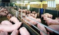 Hơn 270.000 hộ chăn nuôi cam kết không sử dụng chất cấm