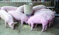 Mua lợn giống?