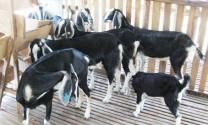 ĐBSCL: Giá dê thịt tăng