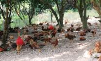 Làm giàu nhờ nuôi gà thả vườn tại Quảng Trị