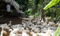 Hiệu quả từ mô hình nuôi vịt siêu thịt an toàn sinh học