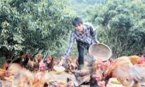 Nghệ An: Lãi lớn từ nuôi gà đồi