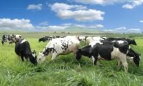 Thu tiền tỷ mỗi năm nhờ nuôi bò sữa