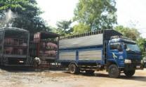 Giá thu mua lợn hơi giảm mạnh