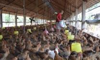 Bắc Giang: Doanh thu trang trại chăn nuôi bình quân đạt 2 tỷ đồng/năm