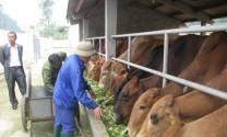 Đồng Tháp: Làm giàu từ nuôi bò