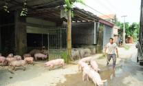 Phát triển chăn nuôi lợn ồ ạt, tự phát = giết chết môi trường nhanh chóng