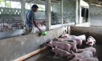 Chăn nuôi heo: Cứu cánh hộ nghèo
