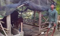 Vĩnh Phúc: Hỗ trợ vốn cho hộ nghèo có người khuyết tật nuôi bò