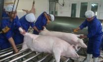 Thị trường lợn hơi?