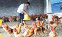 Người chăn nuôi VietGAP đang thấy đơn lẻ