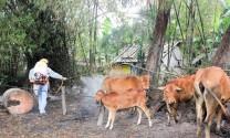 Quảng Trị: Xuất hiện bệnh lở mồm long móng trên đàn gia súc