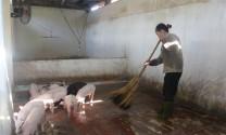 Nuôi lợn bằng men tiêu hóa sống
